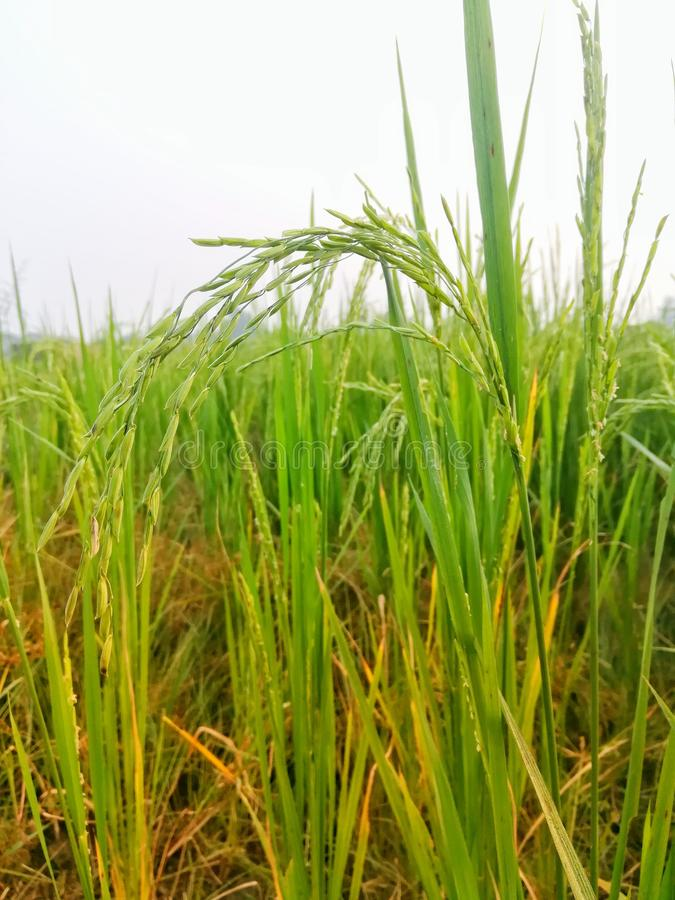 Close up of Organic Rice Stalk with flowers stock image