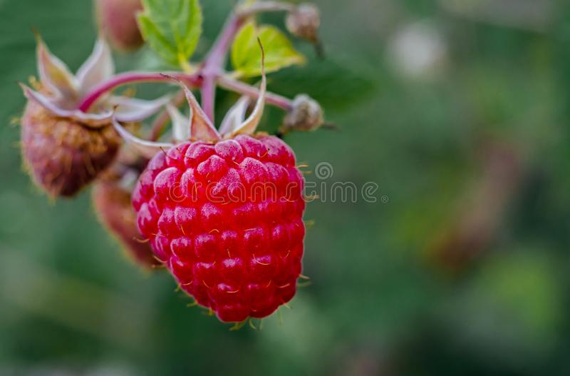 Close-up of organic ripe red raspberries with green leaves stock photo