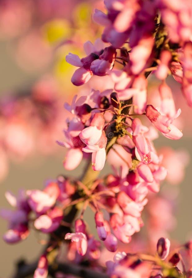 Close up oriental da árvore do redbud foto de stock