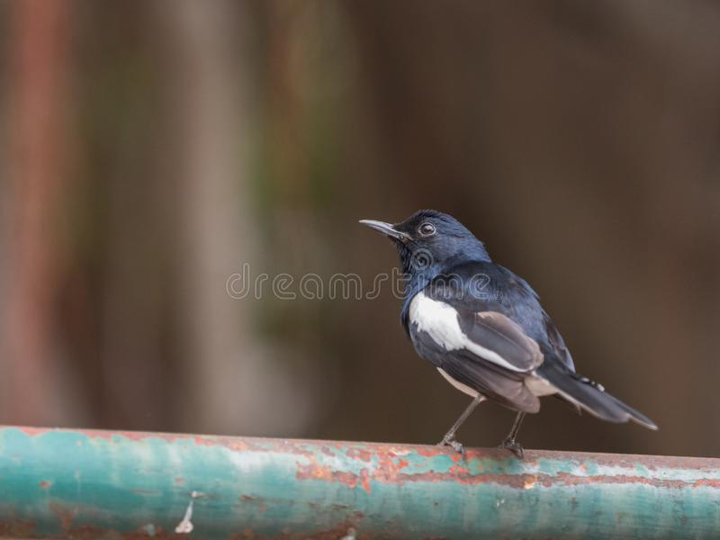 Close up male Oriental magpie robin (Copsychus saularis) perching on green rusted steel bar. royalty free stock image