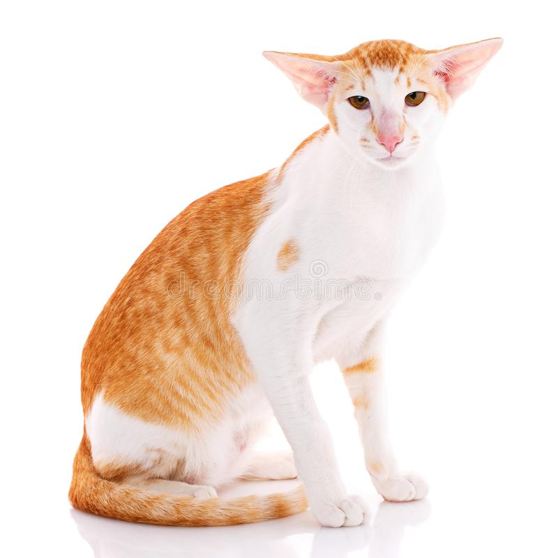 Close-up of an Oriental Shorthair cat royalty free stock images