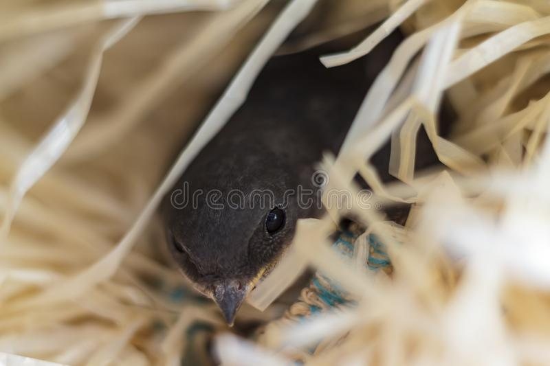Close-up of an orphan baby swallow royalty free stock images