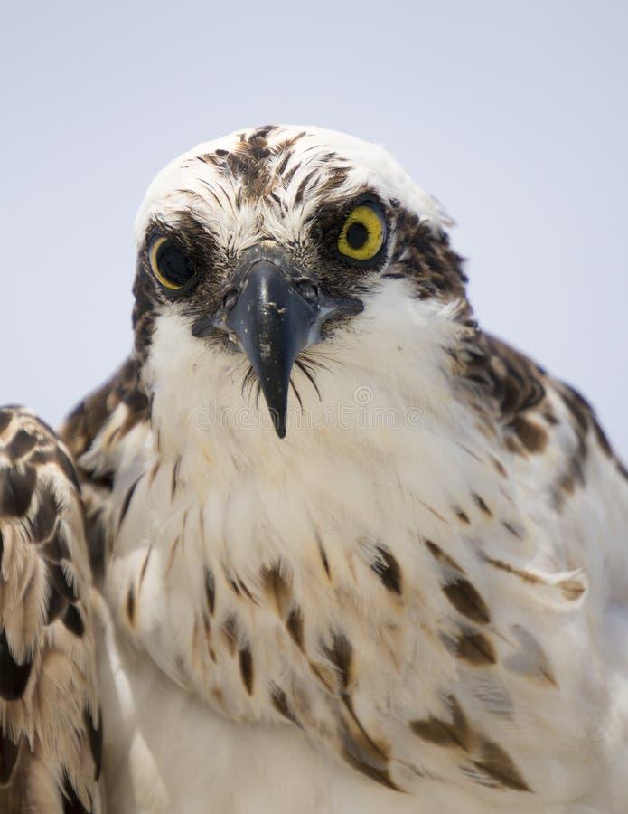Close up of and Osprey Pandion haliaetus staring at a camera. royalty free stock image