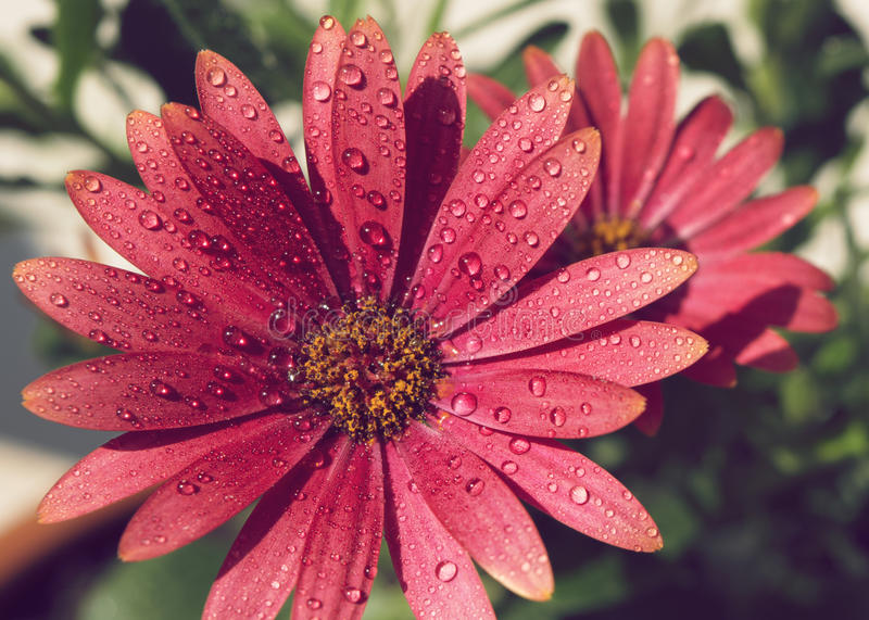 Close-up of Osteospermum with rain drops. Macro of beautiful red Osteospermum, daisybushes, with dew drops royalty free stock image