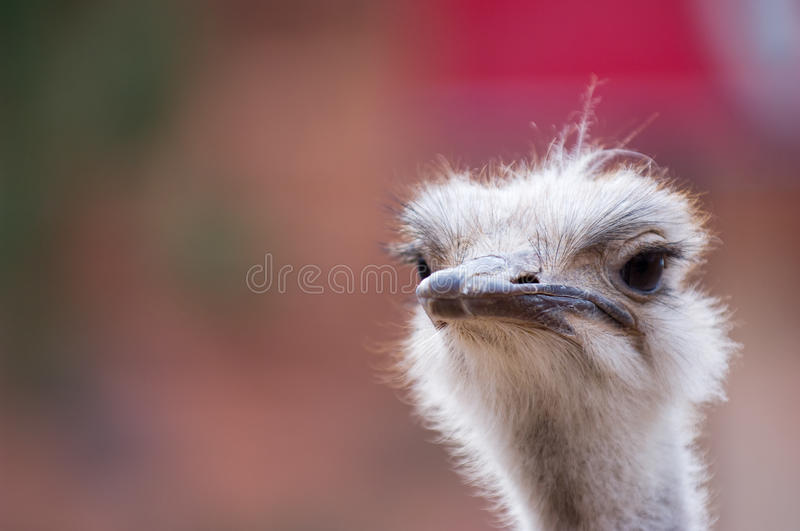 Close up of ostrich head royalty free stock photo
