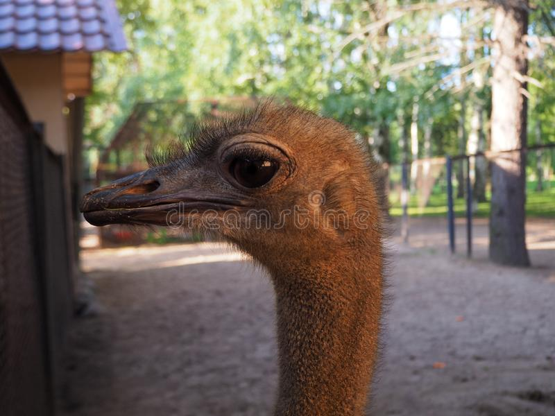 Close up ostrich head and neck Struthio camelus female portrait in the bird yard.  stock photo