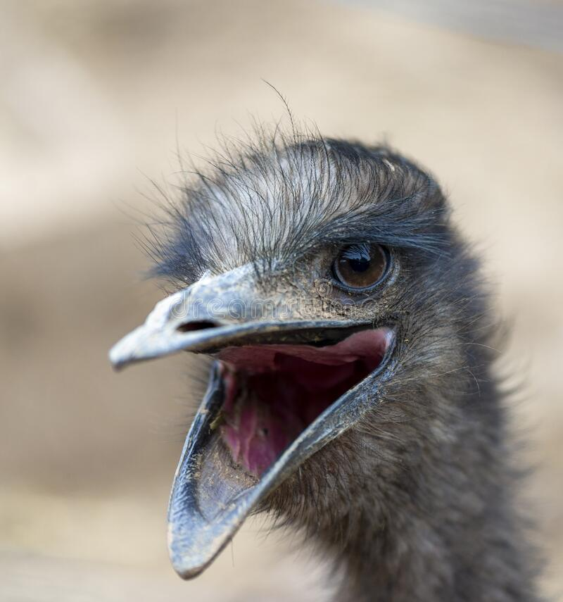 Close up ostrich head with open beak royalty free stock images