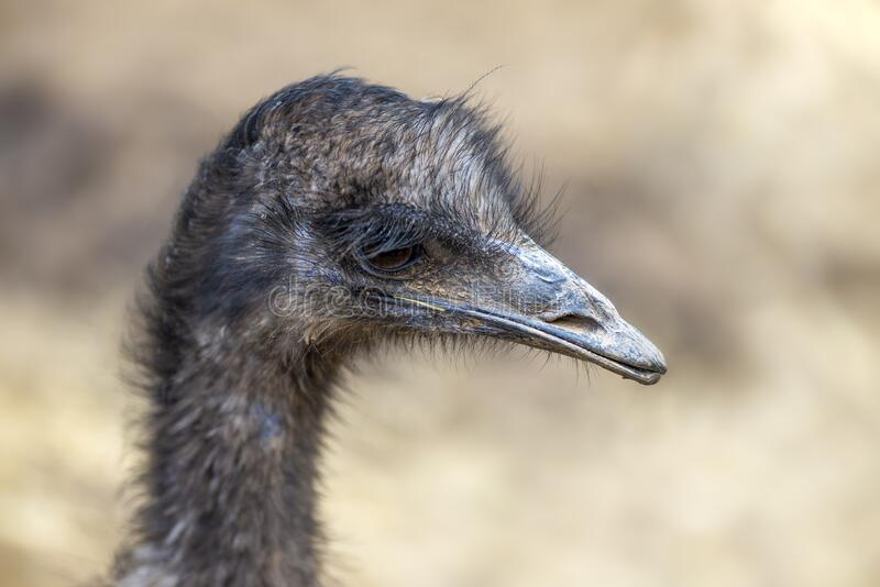 Close up ostrich head stock photo