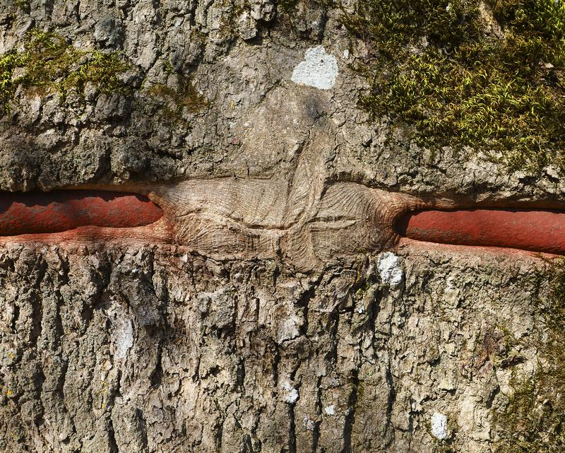 Close up outdoor view of the brown tree bark with bump over red metal stick. Textured rough surface. stock photos