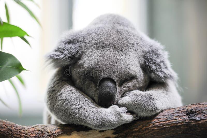 Close-up over een koalaslaap op een tak royalty-vrije stock afbeelding