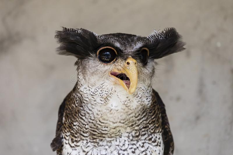 Close-up of an owl with a crazy and funny face expression royalty free stock images