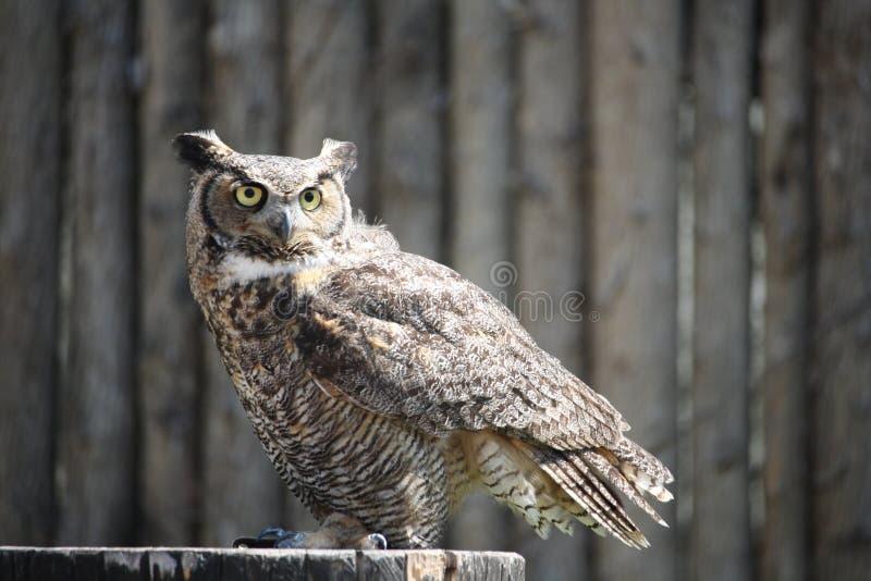 Close-up of an owl. Day, feathers, eye, eyes, look, looking, awake, bright, plumage, bird, prey, binocular, zoo, habitat, north royalty free stock photos