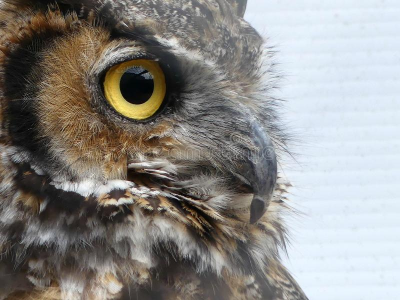 Close up of an Owl in Profile. A close up of an owl in profile against a white slated background. Detail of owl`s feathers is sharp closest to the camera and royalty free stock image