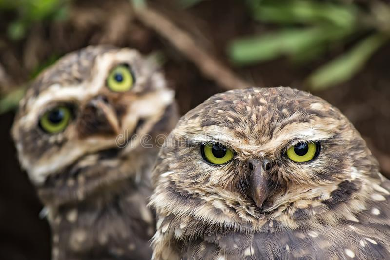 Close Up Owls looking at the camera - Athene cunicularia. Athene cunicularia Owls looking at the camera stock photography