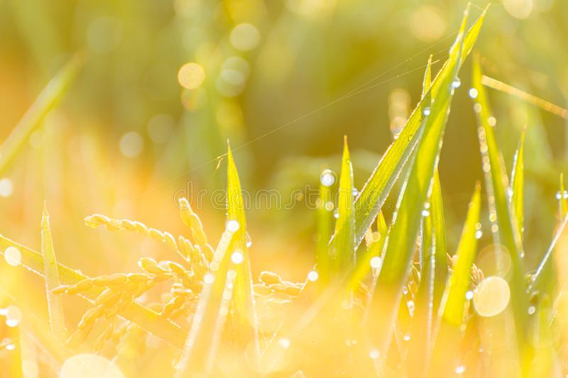 Close up of paddy rice field with ray of lights stock photos