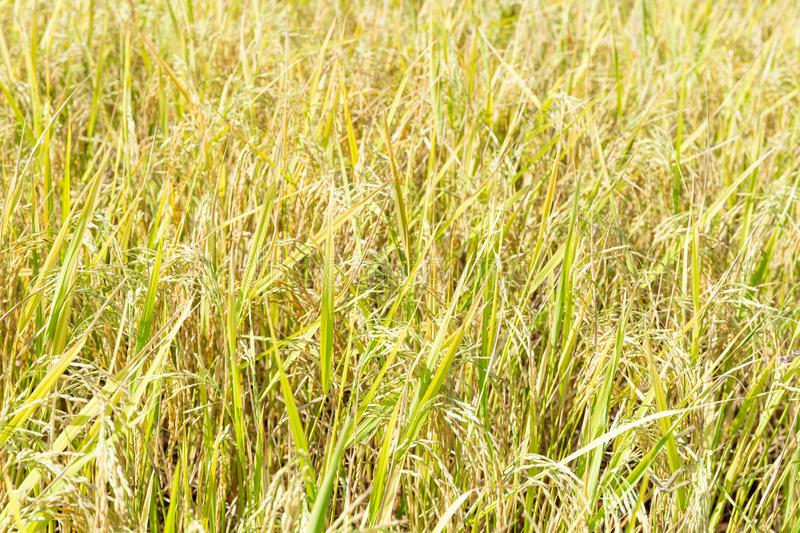 Close up of paddy rice plant stock image