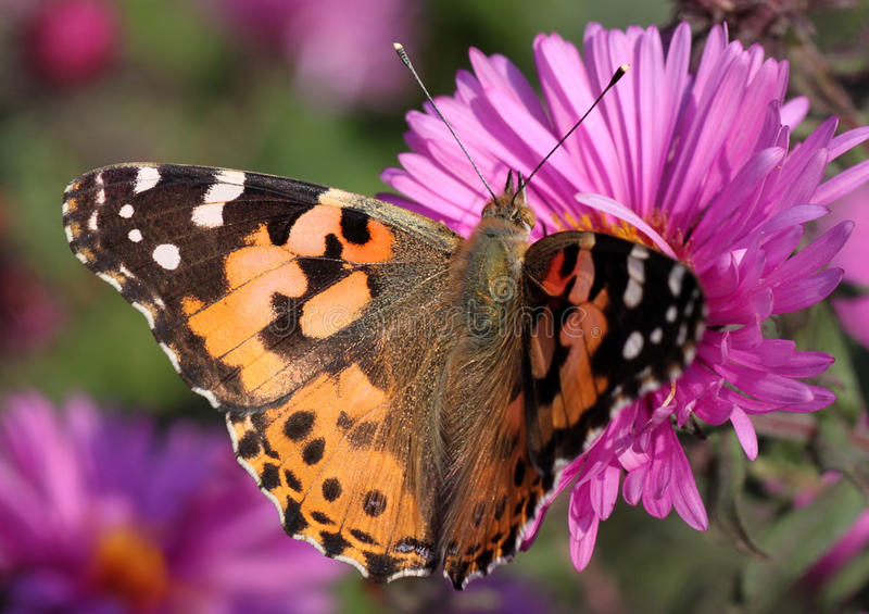 Painted Lady Butterfly Stock Photos