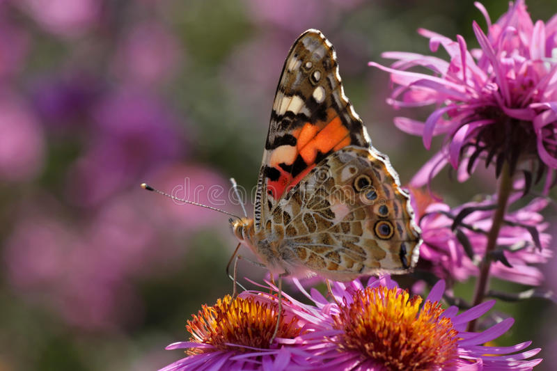 Painted Lady Butterfly On Flower Royalty Free Stock Photos
