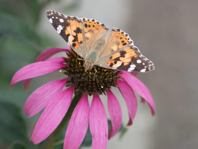 Close-up of a painted lady Vanessa cardui on the blossom of a coneflower stock photo