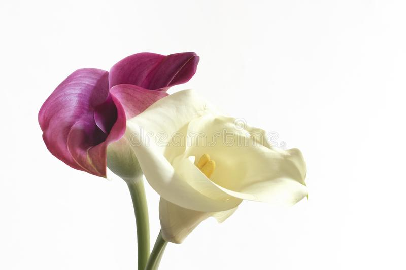 Close-up of a pair of Calla flowers, white and pink. royalty free stock images