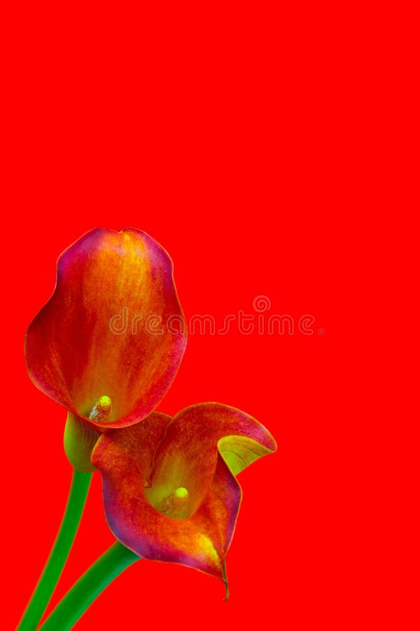 Dual color sensual calla lilies with on abstract grunge background stock photos