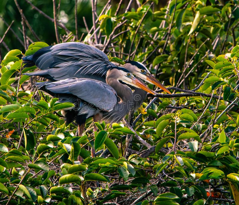 Affectionate Great Blue Herons stock image