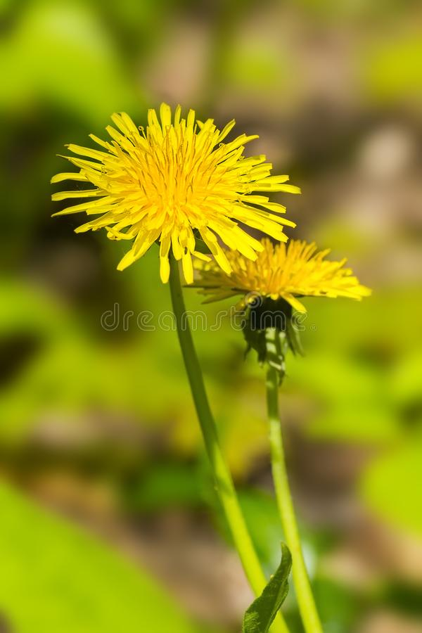 Close up of A pair of Yellow Dandlions. In the Morning Sun royalty free stock photo