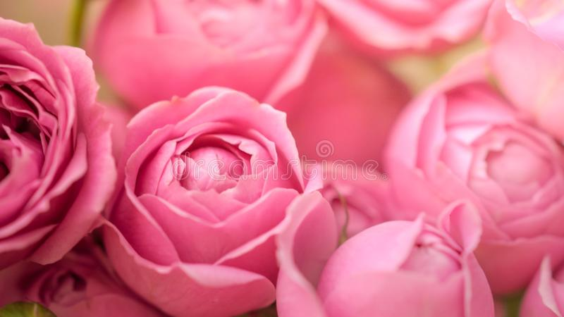 Close-up pale delicate peony roses. Selective focus, magic light.  royalty free stock photo