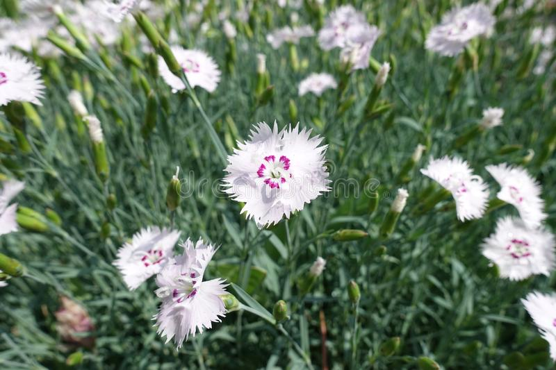 Closeup of pale pink flower of Dianthus. Close up of pale pink flower of Dianthus royalty free stock images