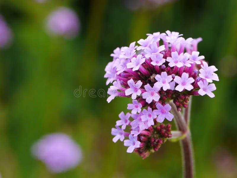Pale purple verbena bonariensis flower. Close up of a pale purple verbena bonariensis flower with others behind stock images