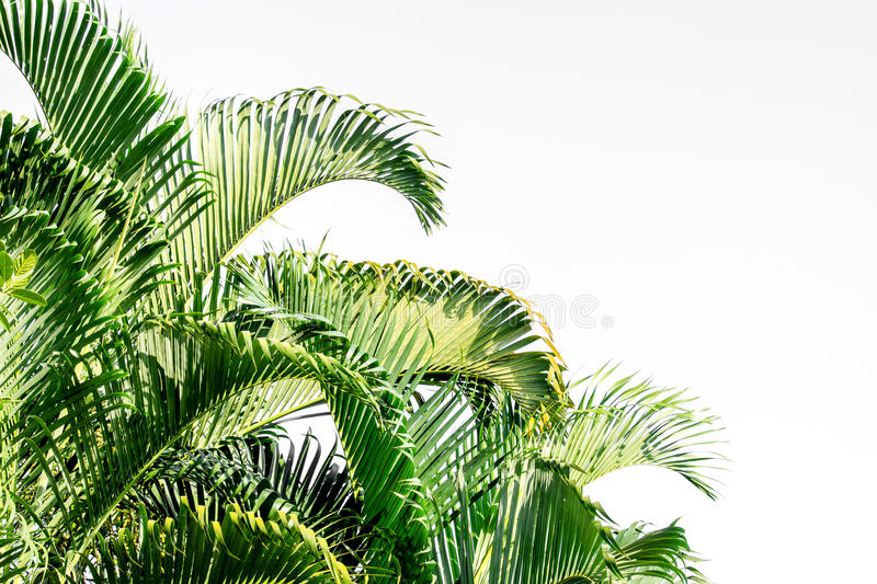 Palm leaf on a white background. stock photography
