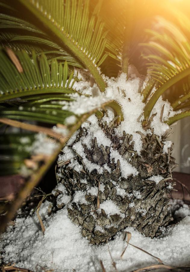 Close-up palm tree covered with snow, concept of cold snap and climate change stock image