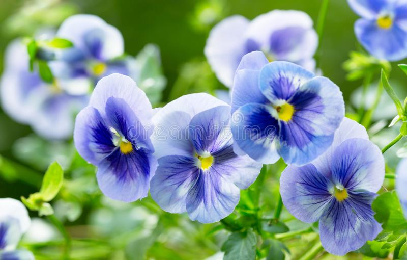 Pansy flower growing in the garden stock photo