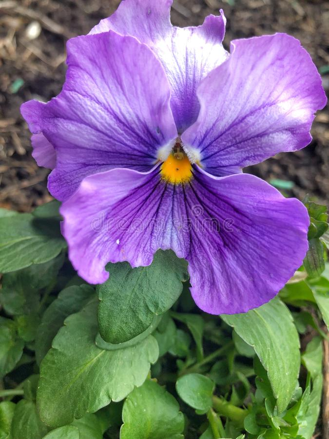 Close up of pansy flower royalty free stock photography