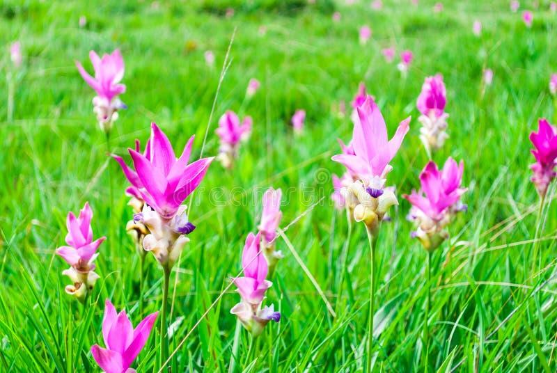 Close-up para picar Siam Tulip Blooming no prado fotos de stock royalty free
