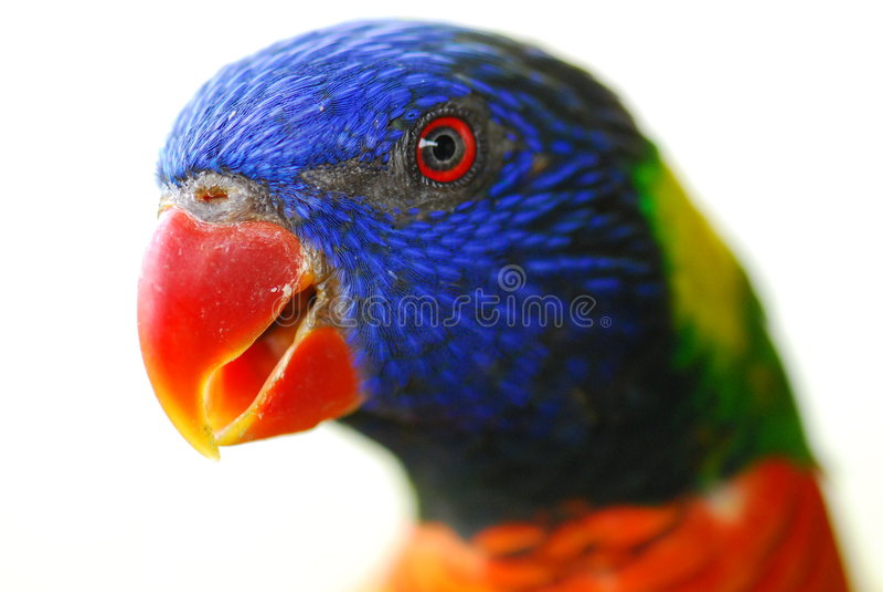 Close up of Parakeet 3 royalty free stock image