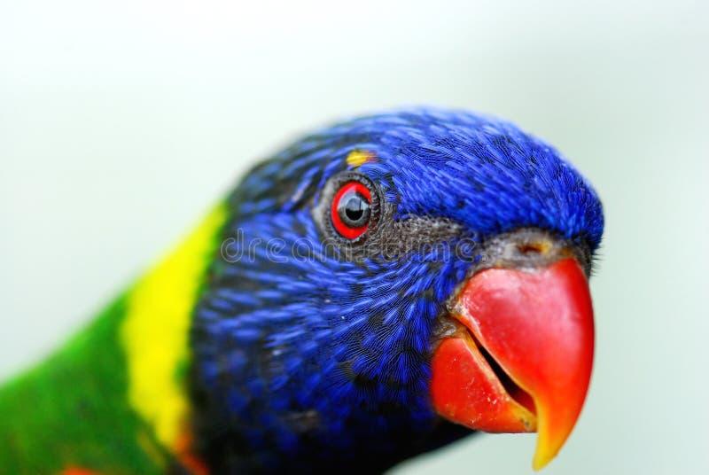 Close up of Parakeet 4 royalty free stock photo