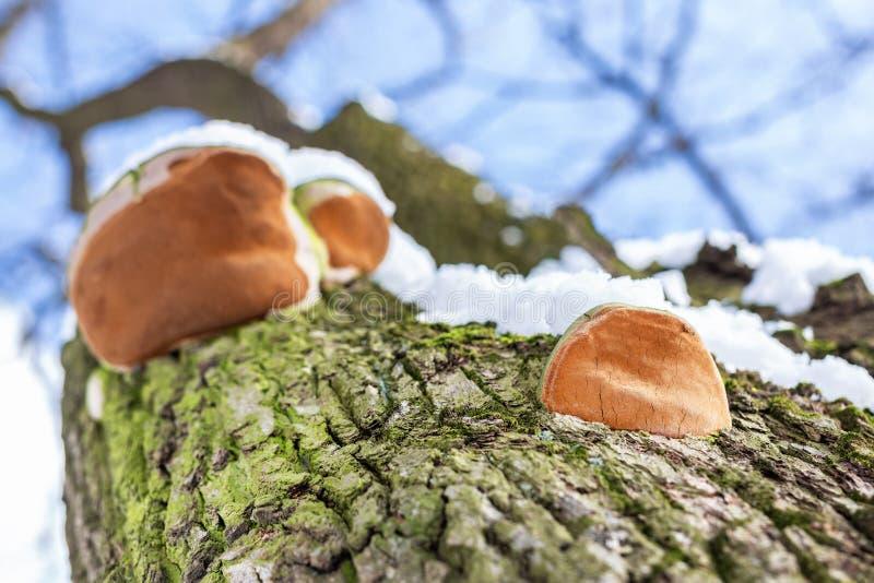 Close-up parasit mushroom on bar of oak tree. Bottom view. Blue sky on a background stock images