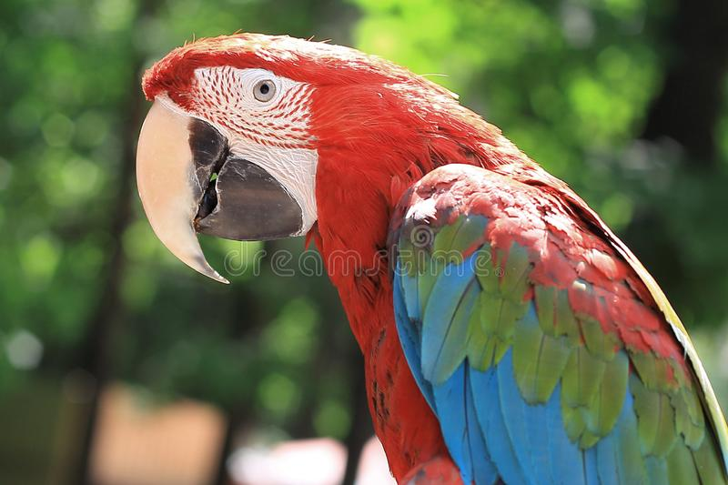 Close up. parrot macaw sitting on a branch.  royalty free stock images