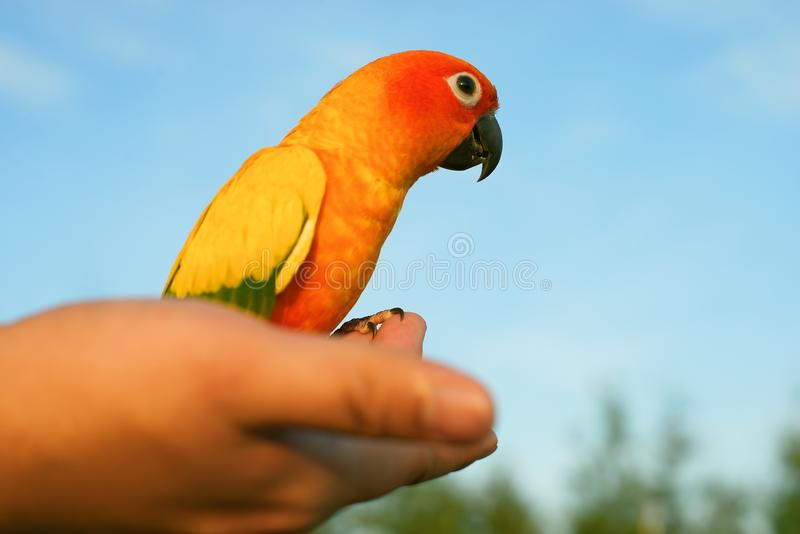 Closeup parrot, Sun Conure Aratinga solstitialis on hand royalty free stock images