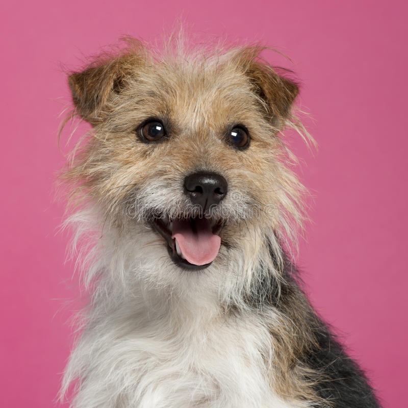 Close-up of Parson Russell Terrier stock images
