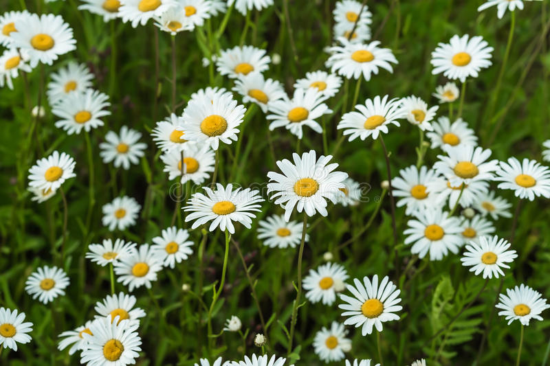 Close-up part of beautiful wild daisys flowers in the wind. Summer day after rain. Concept of seasons, ecology, green royalty free stock images