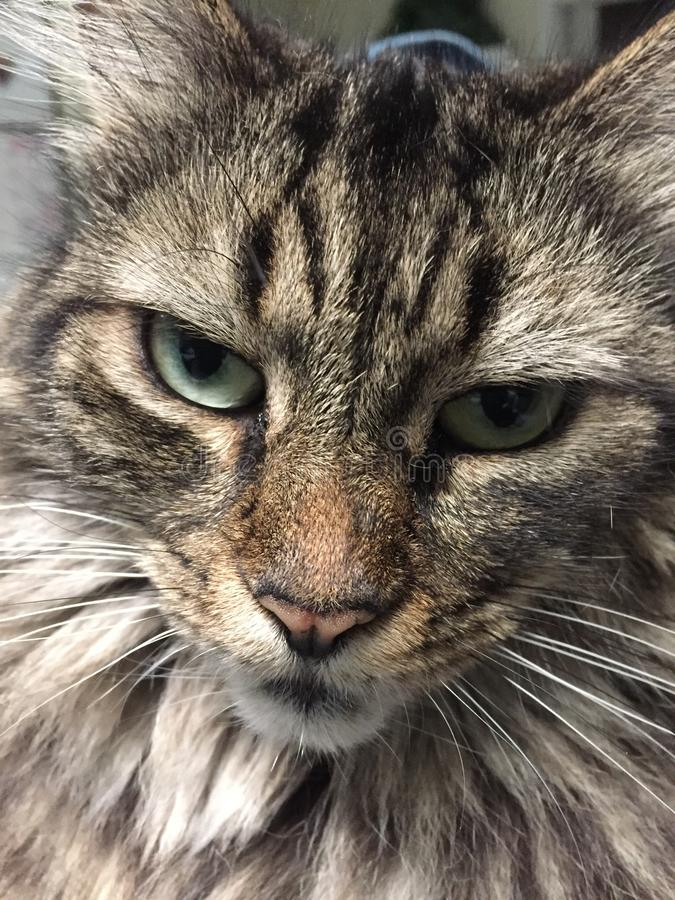 Close up of a part Maine Coon cat royalty free stock image