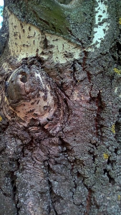 Close-up of part of the trunk of an old poplar. royalty free stock image
