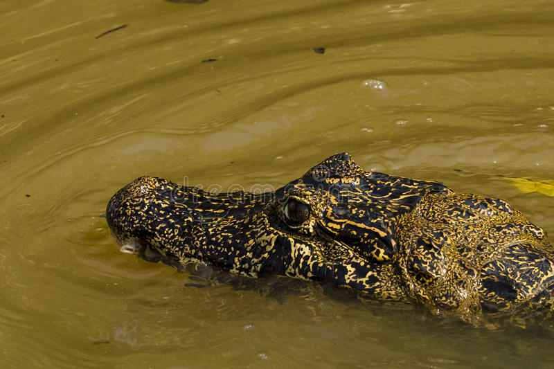 Close-up of Partially Submerged Ornate Head of Watchful Caiman. Close-up of a yellow and black, beautifully ornate, watchful Caiman, snout and head partially royalty free stock photos