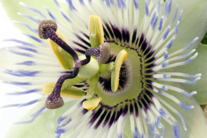 Close up of passiflora. Flower royalty free stock photography