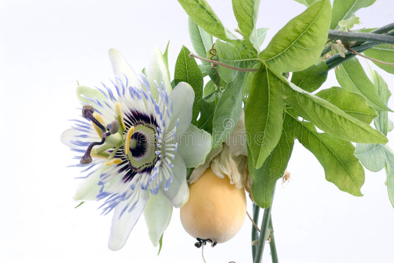 Close up of passiflora. (passion fruit and passionflower) on white background stock photo