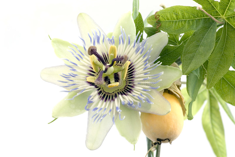 Close up of passiflora. With passion fruit stock image