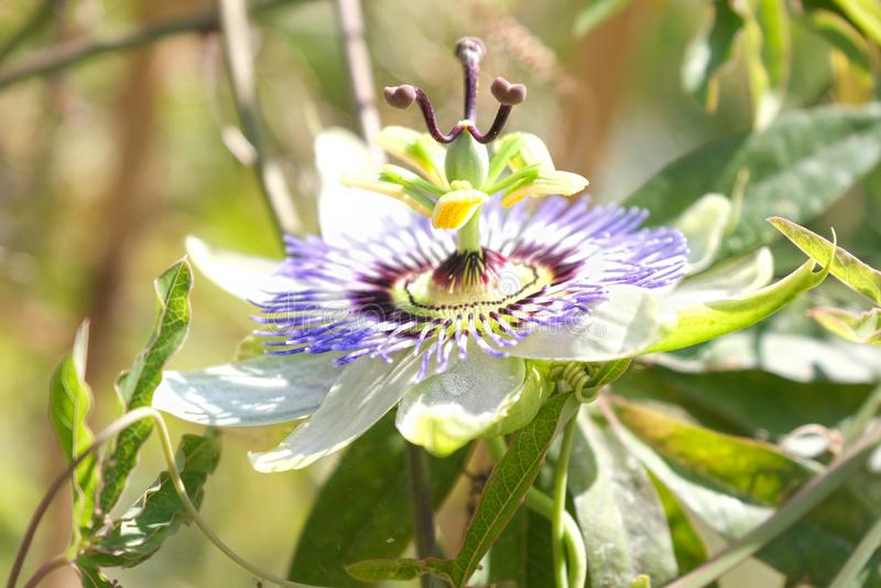 Close up passiflora flower. Close up photo passiflora flower stock image