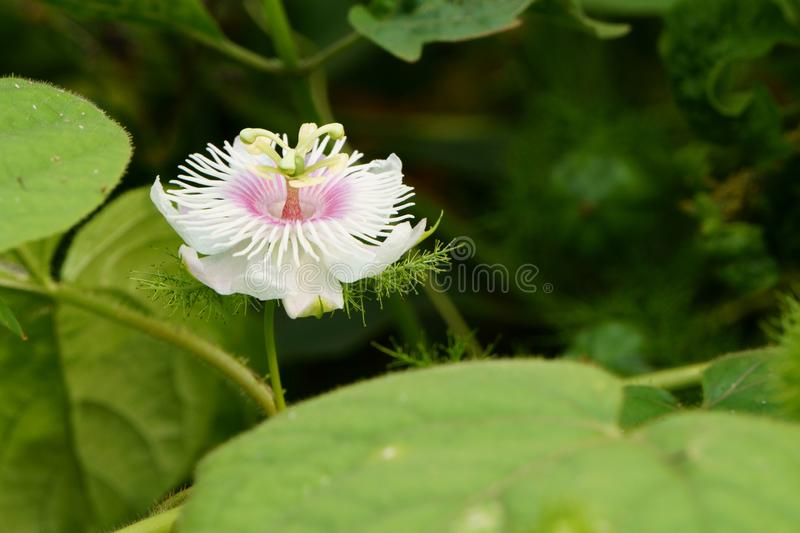 Close up of passiflora foetida flower blooming in the morning. Rural flowers bloom on the field stock image